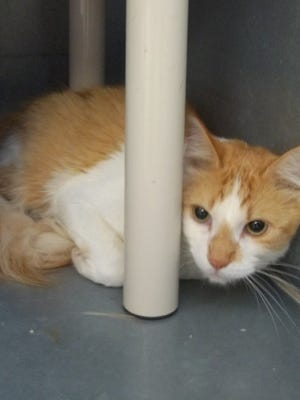 Butterball is a one-year-old male Domestic Short-haired cat. He is a shy quiet cat that would likea nice home. To learn more about Butterball, contact the High Desert Humane Society at 575-538-9261.