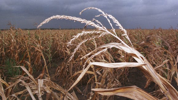 A drought-stricken corn field.