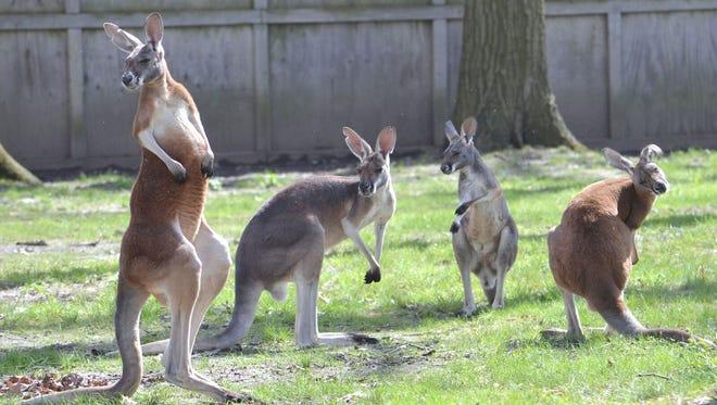 Potter Park Zoo welcomed five new kangaroos last week.