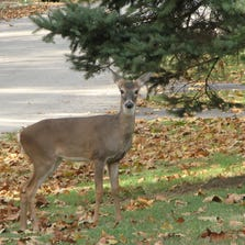A deer close to Thompson Avenue in the old Southern Hills subdivision.