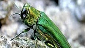 The emerald ash borer is among the invasive species that will be explored during a Chemung River hike Thursday.