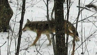 Coyote sightings are on the rise in southeast Michigan, prompting a warning from Canton police to protect small pets.