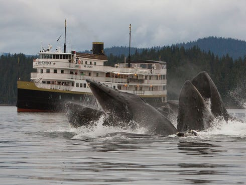 A typical Alaska cruise on the S.S. Legacy includes multiple sightings of humpback whales, which summer in Southeast Alaska. Here, a group of humpbacks bubble feeding near the vessel.