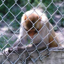 One of the primates at Cricket Hollow Zoo, photographed by Tracey Kuehl during a 2012 visit. Kuehl and the Animal Legal Defense Fund are suing Cricket Hollow and the USDA over conditions at the zoo.