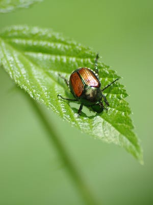 Watch out for Japanese beetles in your plants this summer.