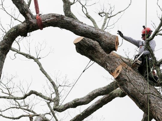 Rob Gilles pushes away a cut branch from a large oak