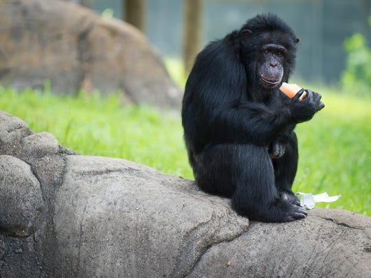 Strong, intelligent chimpanzees have sharp teeth and know how to make sticks weapons.