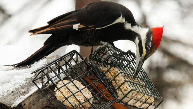A female pileated woodpecker grabs an easy meal of soft suet.