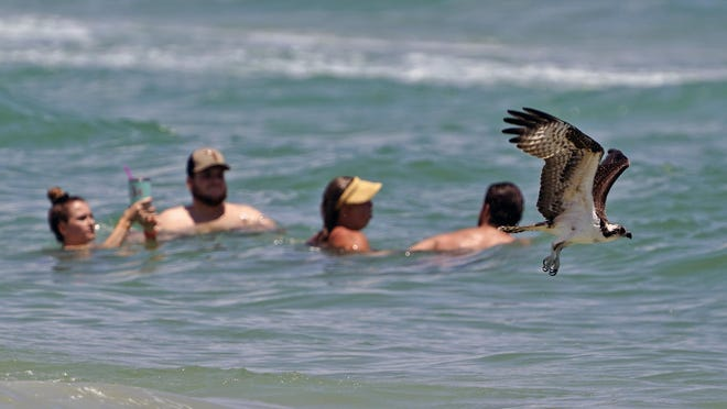 An osprey hunts for lunch along the shoreline in  Daytona Beach Shores on Friday. The National Weather Service in Melbourne is predicting a 30-40% chance of rain throughout the weekend, with possibilities of thunderstorms and lighting in the area.[News-Journal/Nigel Cook]