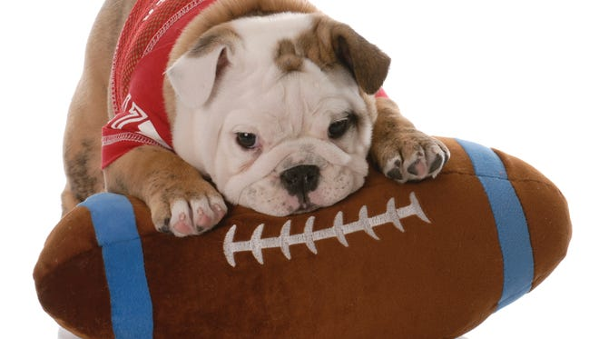 adorable eight week old english bulldog puppy wearing football jersey and laying on stuffed toy
