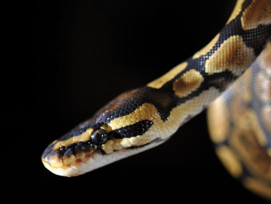 For comparison, this is the head of a normal baby king python -- with two eyes and a snout.