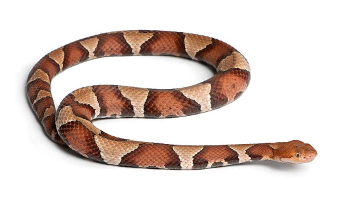 Pennsylvania woman bitten by copperhead snake while doing ... on texas copperhead snake map, rattlesnake range map, cherskogo range map, copperhead snakes in west tennessee, snakes in ohio map, copperhead and cottonmouth snakes, cottonmouth snake territory map, poisonous snakes in illinois map, copperhead snakes southern illinois, pied-billed grebe range map, copperhead yardage book, coywolf range map, pa rattlesnake map, cottonmouth water moccasin range map, northern copperhead snake map, snakes habitat map, southern leopard frog range map, copperhead snakes in alabama, blue-ringed octopus range map, copperhead snakes in south carolina,