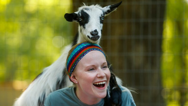 Kayla Minter laughs as a goat leans on her back and shoulders during Goats and Yoga on Herding Dogs Farm in Rogersville on Saturday, May 19, 2018.