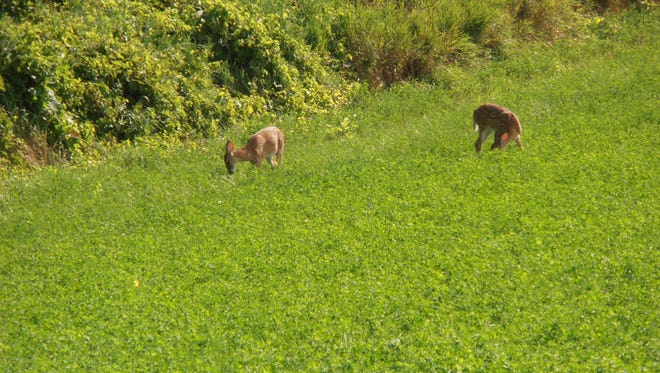 Gary Robinson, always with camera ready, was coming back from Long Lake when he spotted these fawns feeding along the field edge near Reedsville. Gary said the fawns didn't seem to mind being shot with his camera as they just continued to feed. This was on Aug. 8, and they still have their spots.