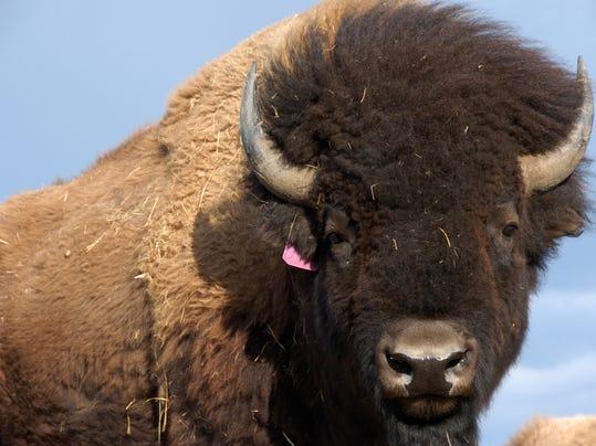 -FALBrd_09-15-2012_Tribune_1_A001~~2012~09~14~IMG_fal_0915_Yellowstone_1_1_J.jpg