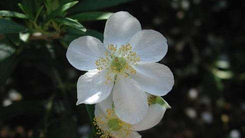 Carpenteria californica, or Bush Anemone, is one of California's loveliest, but rarest shrubs. It is native to the dry granite ridges of the foothills in chaparral and oak woodlands of the southern Sierra Nevada near Fresno.