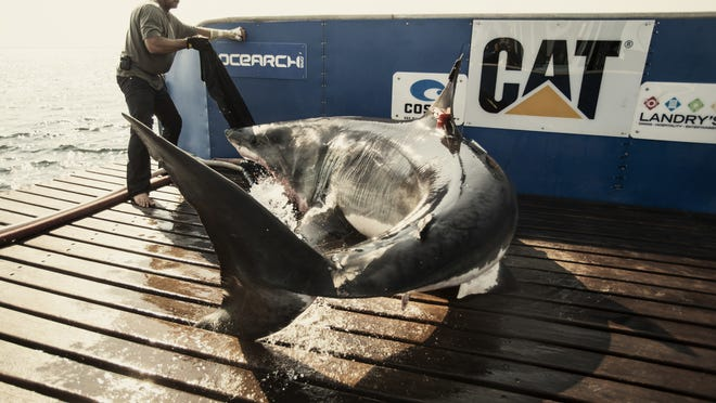 Katharine, a 14-foot great white shark, was captured and tagged on Aug. 19, 2013, off Cape Cod.