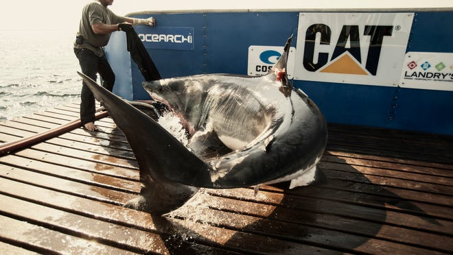 Katharine was tagged off the coast of Cape Cod in August 2013. The 14-foot-2 long shark swam off the Space Coast over the summer.