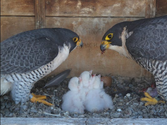 Falcons with 3 babies