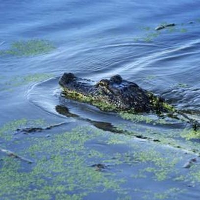 An alligator cuts through the waters of South Louisiana.