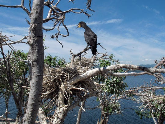 "In this June 16, 2016 photo, an immature double-crested cormorant sits atop a tree on island ""B"" of the Four Brothers Islands on the New York side in Lake Champlain. Biologists have been working to reduce the populations of the birds in the nesting grounds on the islands in the lake. But a federal judge's decision suspended efforts to control the bird on Lake Champlain and in 24 Eastern states."