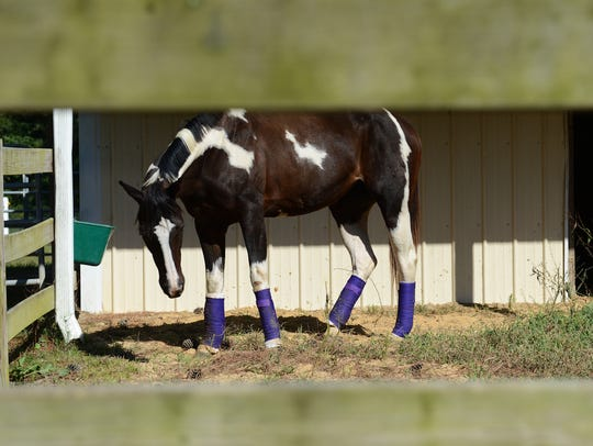 Magic stands just outside her stall, all four legs