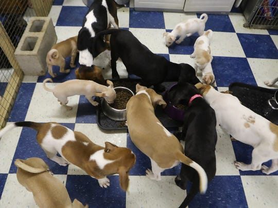 Puppies and dogs eat and play Wednesday at the Tails of Rescue Thrift Store and Adoption Center in Redding.