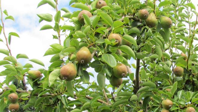 Orchards in southern Oregon are taking steps to keep pears cool as temperatures soar.