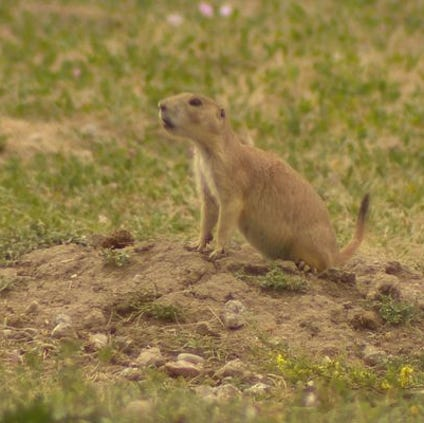 The disease is part of the fabric of nature in Colorado now, found in rodents-- mainly prairie dogs. It's transmitted through the fleas they carry.