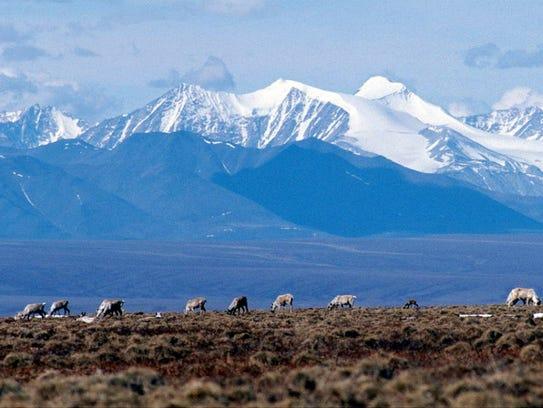 Caribou graze in the Arctic National Wildlife Refuge.