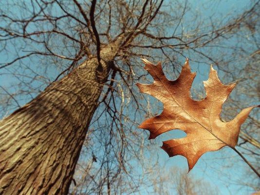 636343223568956164-oak-trees-120998-leaf-PB.JPG