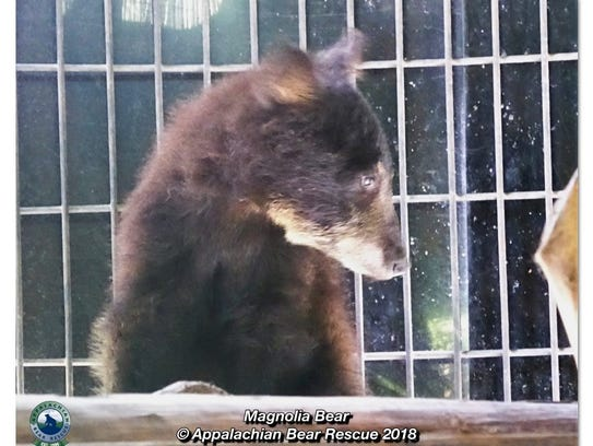 Magnolia, a Louisiana black bear, is on the mend at