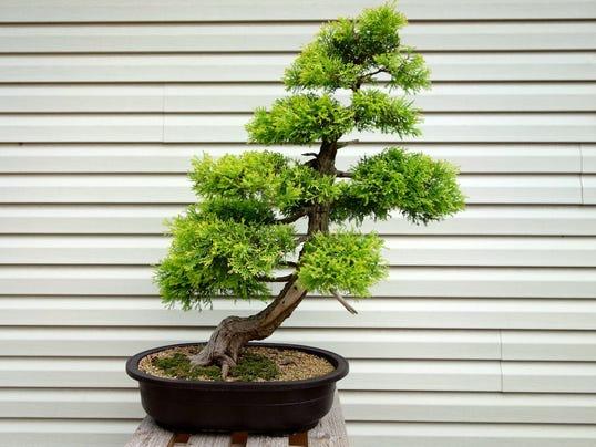 636093856047661179-1.-davidcalle-bonsaisociety.jpg