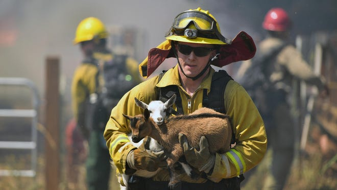 A firefighter rescues goats as flames from a wildfire envelope the area in Lower Lake, Calif., on Sunday, Aug. 14, 2016.