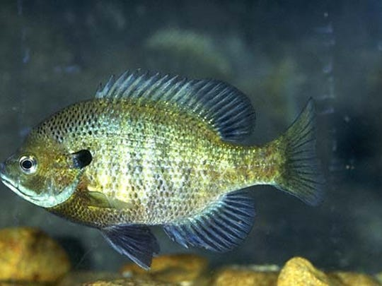Bluegill will put up a good fight, but it's too small to give much trouble.