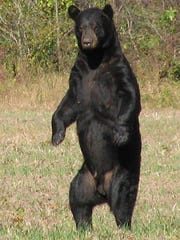 There are no known black bear attacks in Mississippi,