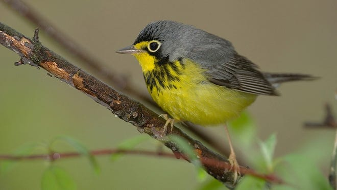"Environmentalists are concerned about the impact of ""tar sands"" oil development in Canada's Boreal forest and the impact it might have on wildlife, including many species of birds. Pictured the Canada Warbler, one of many birds that depend upon the region."