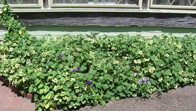 Know your groundcovers before you plant them.