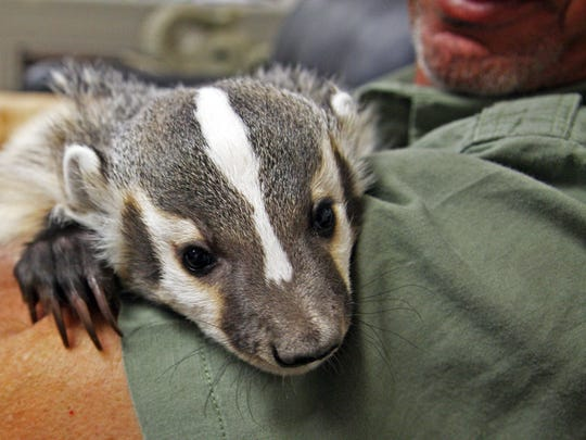 Taz rests on the arm of Monterey Zoo director Charlie Sammut