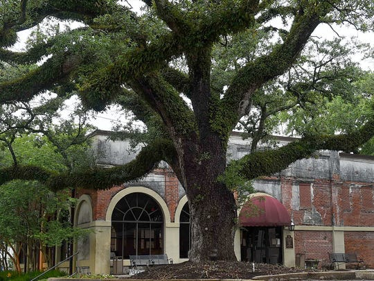 They put up a parking lot but that didn't stop this hardy oak tree from thriving through the years in Opelousas.