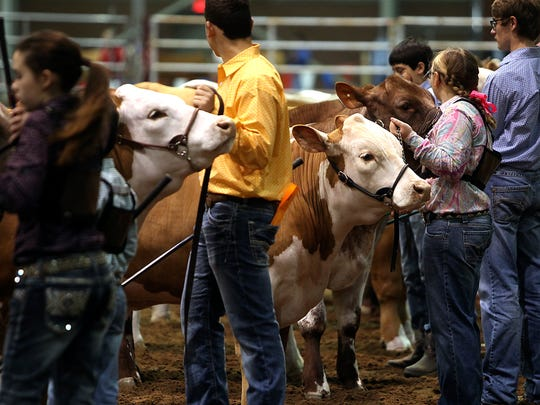 Contestants line up their steers for judging during the Junior Market Steer Show inside the Cattle Barn on Tuesday, Feb. 7, during the 85th annual San Angelo Stock Show & Rodeo.
