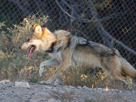 A female Mexican gray wolf attempts to evade capture