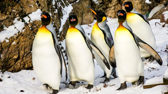 King penguins parade into the children's zoo at the Cincinnati Zoo & Botanical Garden in January 2016. This group's wild cousins in Antarctica are facing a dire future due to global warming.
