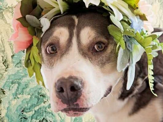 Audrey - Female (spayed) pitbull-husky mix, adult.