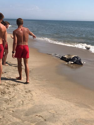 A leatherback sea turtle washed ashore in Rehoboth Beach the morning of July 10, 2017.