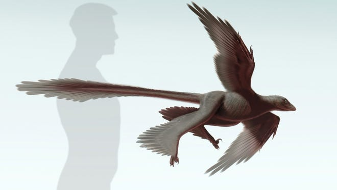 An illustration of the new raptorial dinosaur, Changyuraptor yang.