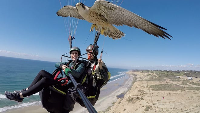 Parahawking is an epic excursion that involves tandem paragliding with a well-trained raptor tagging along. It's also a memorable way to get a bird's-eye view of San Diego's gorgeous coastal cliffs.