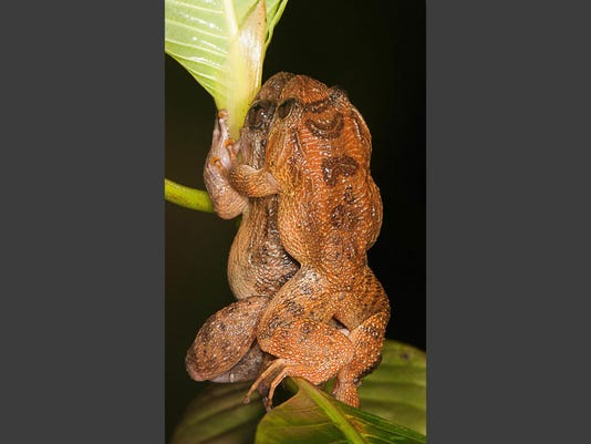 Nature news: Researchers report new mating position for frogs
