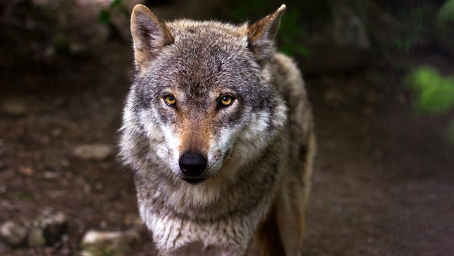 "The exhibition ""Wolves and Wildlands in the 21st Century"" will open Sunday, July 3 at the Farmington Museum at Gateway Park as part of the city's 30th annual Freedom Days celebration."