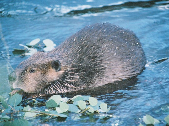 Beavers along the Wichita River are busy preparing their homes for the arrival of winter.